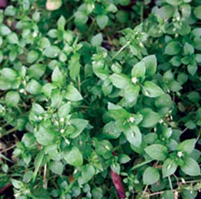 chickweed too