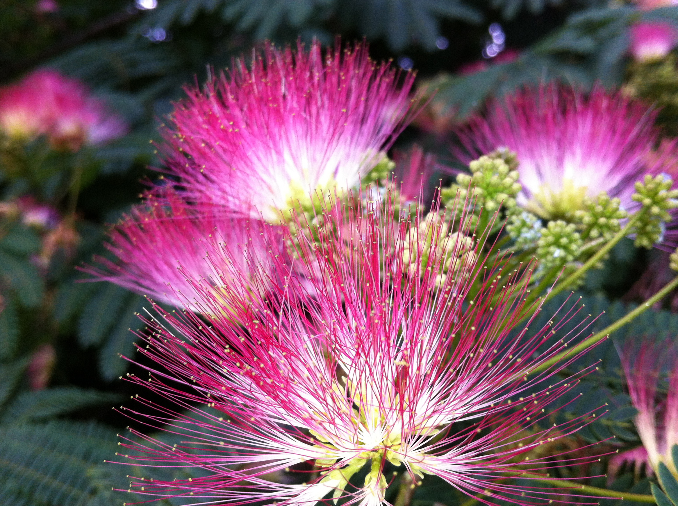 red mimosa flower hd - photo #5