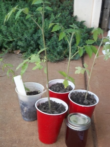 3 Tomato plants for comfrey oil, plum jelly for cinnamon buns and pennyroyal plant for a sm zucchini bread