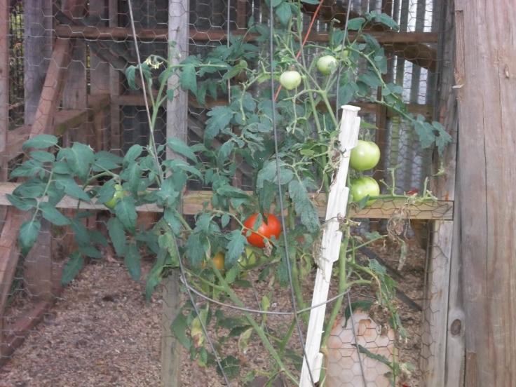 tomatoes and wine 001 (1024x768)