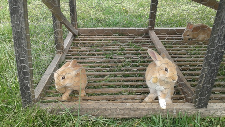 Bunnies in the tractor
