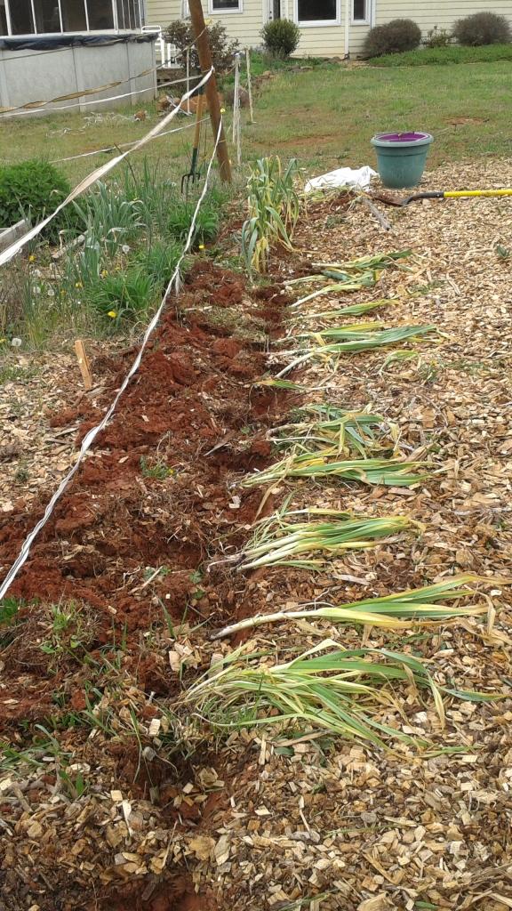 40 garlic plants were planted last month