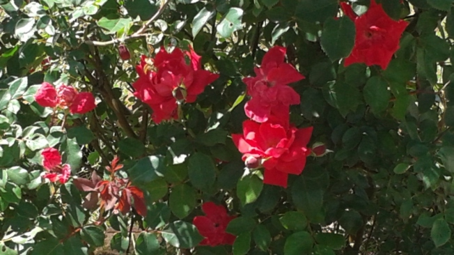 Knockout roses in full bloom