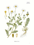 Stinking chamomile or mayweed