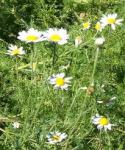 German Chamomile - Matricaria