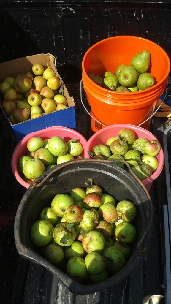 Apples & Pears free from picking at friends farm.