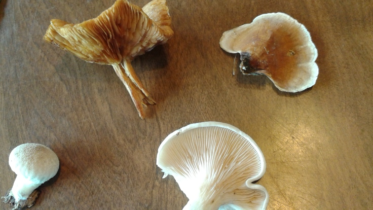 4 different mushrooms found but the top right is the parchment mushroom(I think) - not a turkey tail.