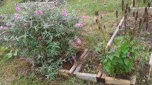 butterfly bush & anise hyssop