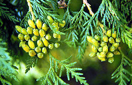 260px-Thuja_occidentalis