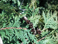 CEDAR_NORTHERN_WHITE_fruitMed
