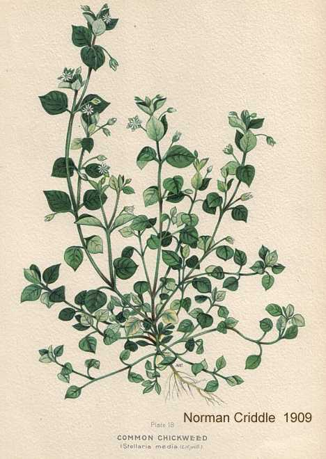 old botanical drawing