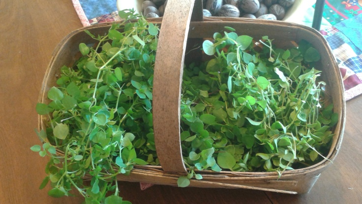 Chickweed galore!