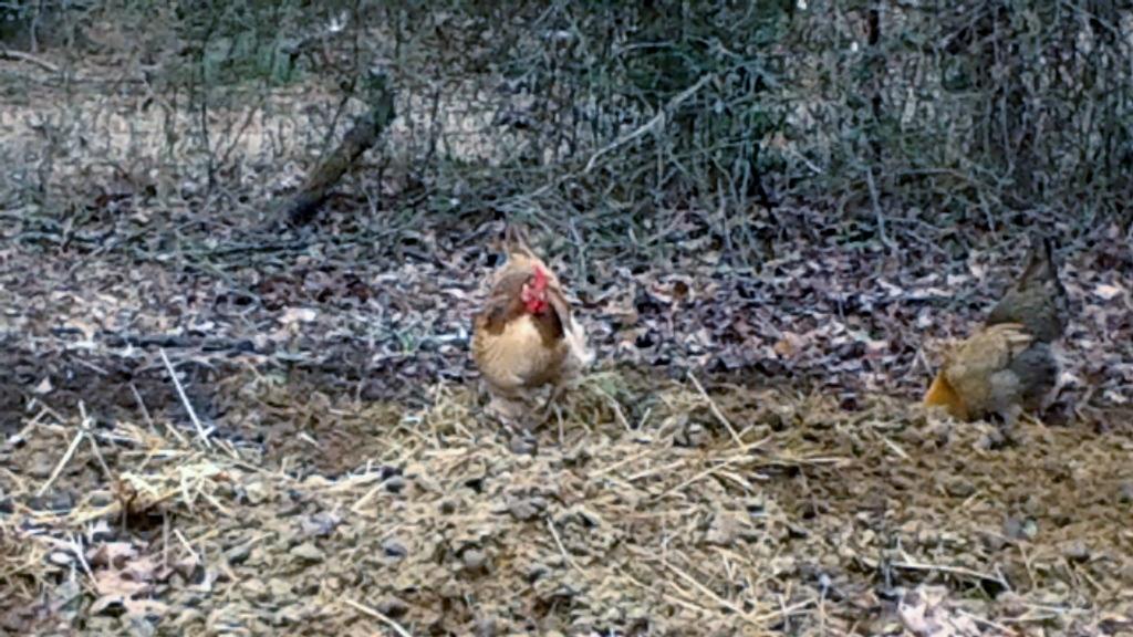 manure chickens