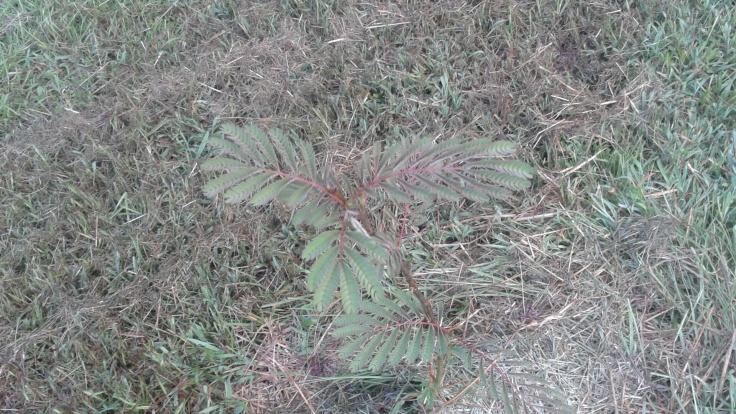 A Baby Mimosa Tree
