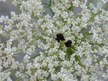 The Benefits Of Queen Anne S Lace Bella Vista Farm