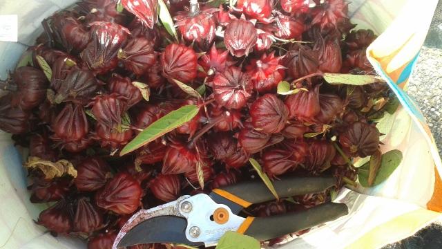 hibiscus-harvest
