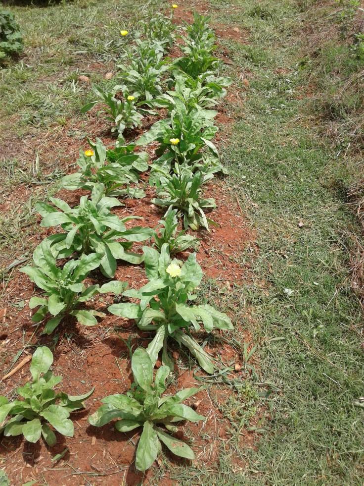 calendula late spring