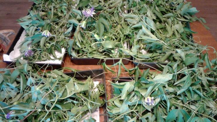 passionflower harvest