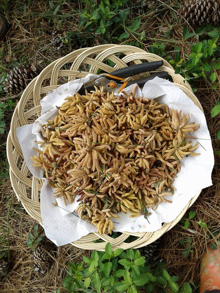 pine catkin harvest 2017